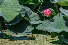 Озеро с лотосами Стоковая Фотография