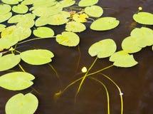 Озеро с blossoming лилией воды Стоковая Фотография