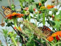 Озеро Торонто бабочки монарха среди мексиканских солнцецветов 20 Стоковые Изображения