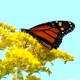 Озеро Торонто монарх на Goldenrod цветет 2014 стоковое фото