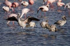озеро фламингоа меньшие детеныши nakuru Стоковое Фото