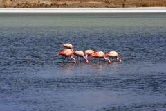 озеро фламингоов Боливии Стоковые Изображения RF