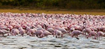озеро фламингоов меньшее naiwasha Стоковые Фото