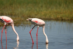 озеро фламингоов меньшее nakuru Стоковые Фотографии RF