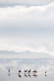 Озеро фламингоов Стоковые Изображения RF