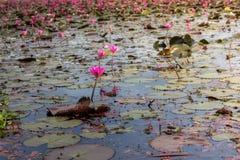 Озеро цветк лотоса в Phatthalung, Таиланде Стоковое фото RF