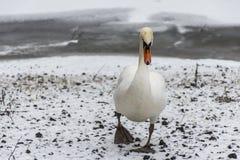 Озеро 2 льда прогулки птицы лебедя снега земли зимы белое Стоковые Изображения