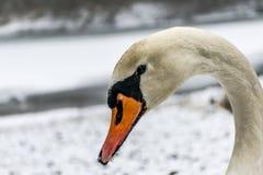 Озеро 5 льда прогулки птицы лебедя снега земли зимы белое Стоковые Фото