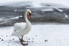 Озеро 7 льда прогулки птицы лебедя снега земли зимы белое Стоковое Изображение