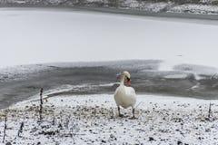 Озеро льда прогулки птицы лебедя снега земли зимы белое Стоковые Фото
