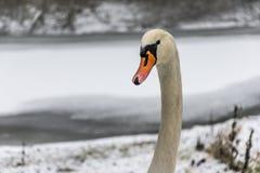 Озеро 4 льда прогулки птицы лебедя снега земли зимы белое Стоковое фото RF