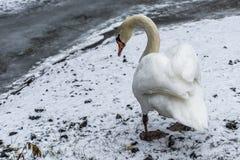 Озеро 8 льда прогулки птицы лебедя снега земли зимы белое Стоковые Фотографии RF