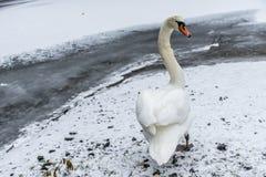 Озеро 9 льда прогулки птицы лебедя снега земли зимы белое Стоковое Фото