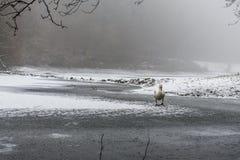 Озеро 12 льда прогулки птицы лебедя снега земли зимы белое Стоковое Изображение