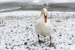 Озеро 3 льда прогулки птицы лебедя снега земли зимы белое Стоковое фото RF