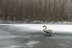 Озеро 22 льда прогулки птицы лебедя снега земли зимы белое Стоковая Фотография