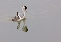 озеро grebe западное Стоковые Изображения