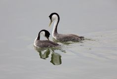 озеро grebe западное Стоковое Изображение RF