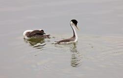 озеро grebe западное Стоковые Фотографии RF