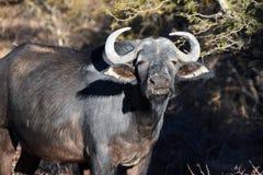 озеро kariba плащи-накидк буйвола сфотографировало Зимбабве Стоковое Изображение