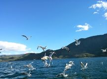 Озеро Lugu и чайка 2 Стоковые Фото