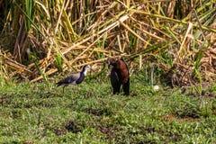 Озеро Manyara сафари птиц Стоковые Изображения RF