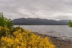 Озеро Marlee и желтый веник цветут, гористые местности Шотландия SW Стоковая Фотография