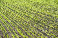 Озимая пшеница Стоковое Изображение RF