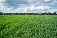Озимая пшеница стоковая фотография rf