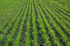 Озимая пшеница sowings_3 Стоковые Изображения