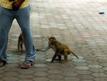 Озорные обезьяны после людей и вытягивать их брюки стоковое фото rf