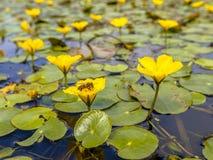 Окаимленная лилия воды с пчелой Стоковое Фото