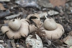 Окаимленное fimbriatum Geastrum earthstar Стоковая Фотография RF