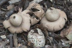 Окаимленное fimbriatum Geastrum earthstar Стоковые Изображения