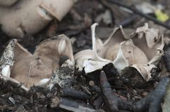 Окаимленное fimbriatum Geastrum earthstar Стоковое фото RF