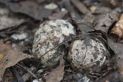Окаимленное fimbriatum Geastrum earthstar Стоковые Изображения RF