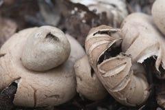Окаимленное fimbriatum Geastrum earthstar Стоковая Фотография