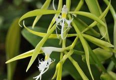 Окаимленная орхидея звезды стоковая фотография