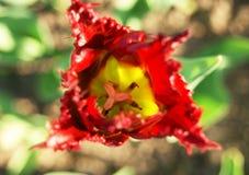 Окаимленный красный тюльпан стоковое фото