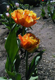 Окаимленный тюльпан вызвал Чувственный Касать Стоковое фото RF