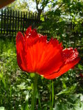 Окаимленный тюльпан Стоковые Фотографии RF