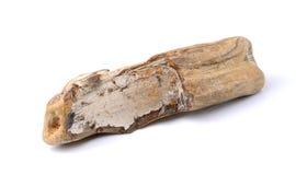 Окаменелая древесина изолированная на белой предпосылке Стоковое фото RF