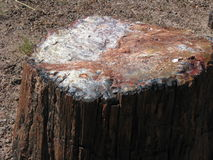 Окаменелая древесина Стоковое Фото