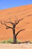 Окаменелое дерево акации нашло в лотке глины Deadvlei белом в национальном парке Naukluft, Намибии Стоковое Изображение RF