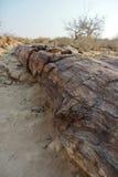 Окаменелое дерево журнала Стоковое Фото