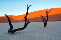 Окаменелые деревья против красных дюн стоковые фотографии rf