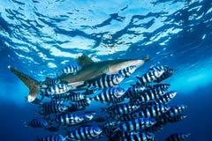 Океанская акула whitetip с пилотными рыбами Стоковое фото RF