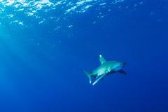 океанское whitetip акулы Стоковое Изображение