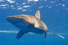 океанское whitetip Стоковая Фотография RF