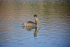Океан птицы пеликана Стоковые Фото